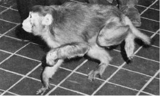 Bandagin-the-normal-limb-of-monkey-to-make-use-its-affected-lib